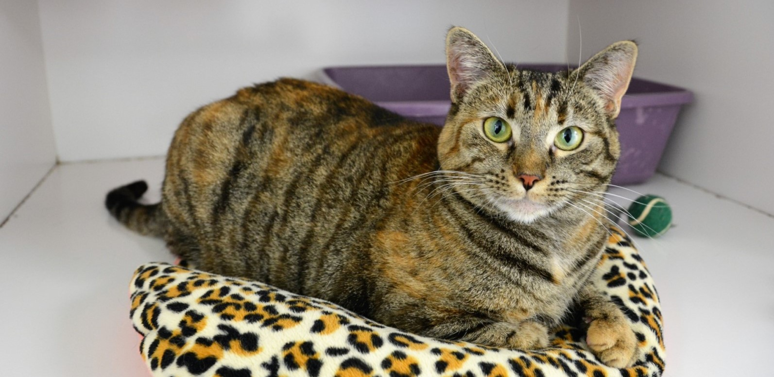 National Cat Protection Society No Kill San Diego And Orange County Ca Animal Shelters For Cats
